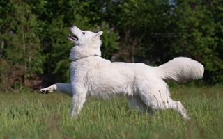 Фото бесплатно пес, белый, лапы