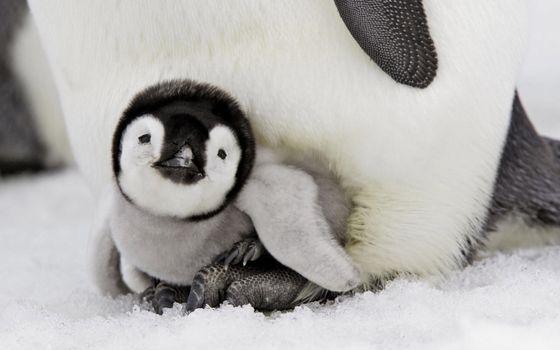 Photo free penguin, cub, winter