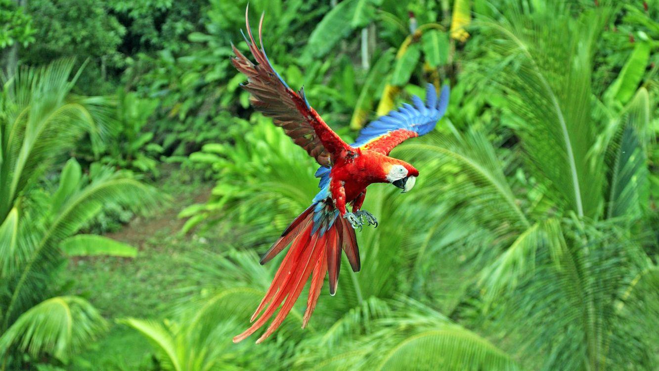 Фото бесплатно попугай, ара, разноцветный, крылья, перья, хвост, полет, птицы, птицы