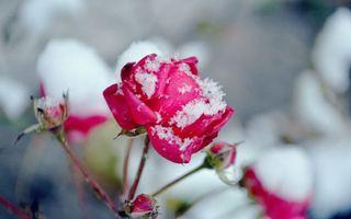 Обои роза, снег, лепестки, шипы, стебель, ветка, листья, иней, мороз, зима, цветы