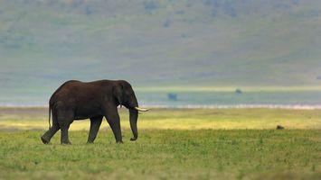 Заставки слон,хвост,бивни,хобот,поле,трава,зеленая