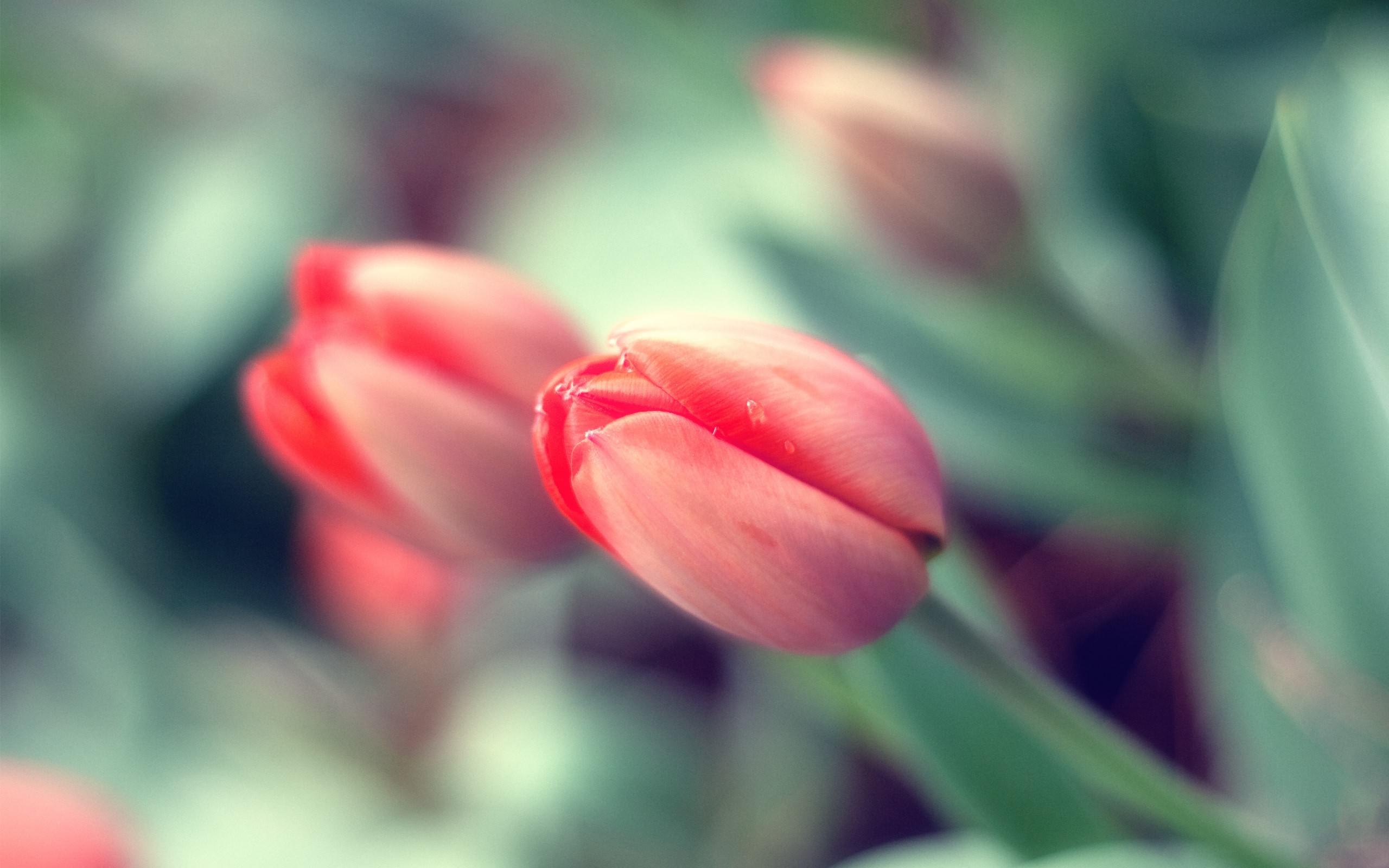 тюльпан, бутон, красный