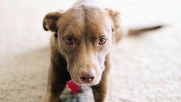 Фото бесплатно щенок, взгляд, мордочка