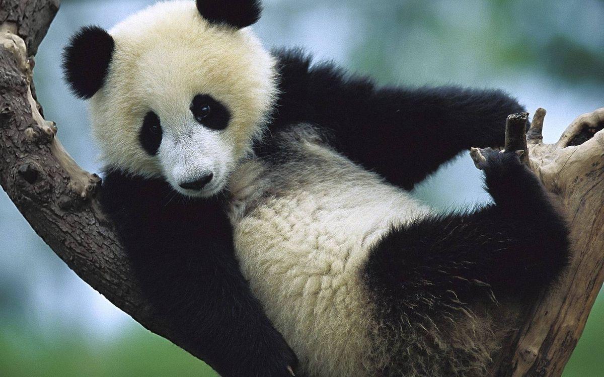 Фото бесплатно панда, бамбуковый медведь, морда, лапы, шерсть, окрас, дерево, животные
