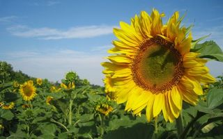Бесплатные фото поле,подсолнухи,лепестки,желтые,стебли,листья,зеленые