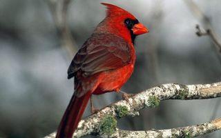 Бесплатные фото птичка,клюв,перья,красные,хохолок,лапы,ветка