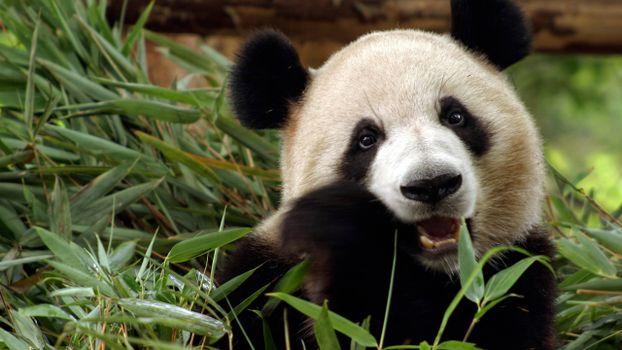 Бесплатные фото панда,морда,уши,лапы,шерсть,бамбук