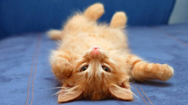 Photo free ginger kitten, to the top of the legs, sofa