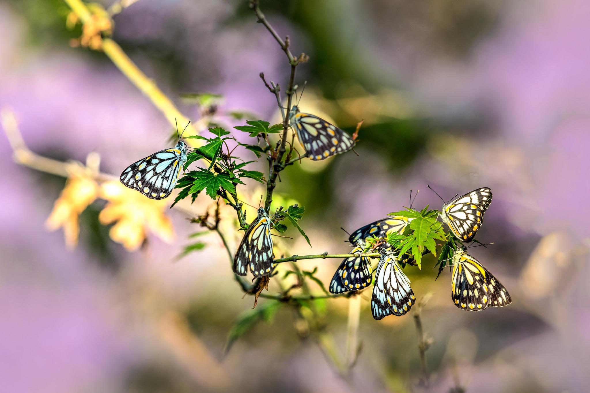 Обои ветка, бабочки, насекомые