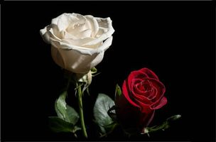 Бесплатные фото розы, цветы, чёрный фон, флора