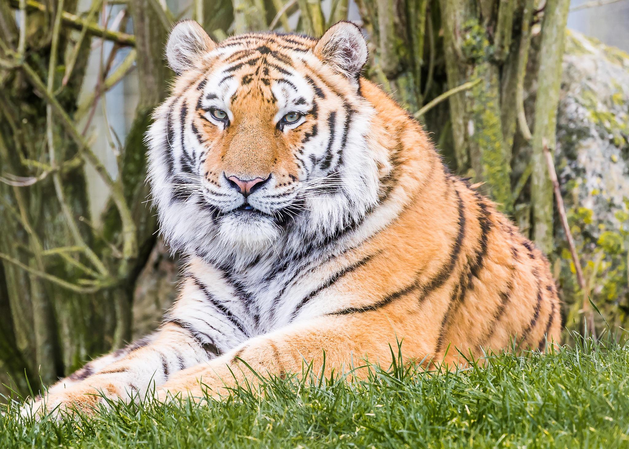 обои тигр, хищник, животное картинки фото