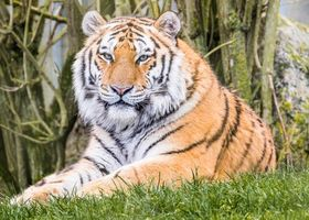 Заставки тигр, хищник, животное