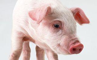 Фото бесплатно поросенок, свинья, морда