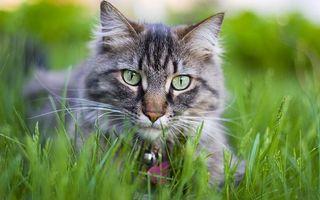Бесплатные фото кот,морда,глаза,зеленые,ошейник,трава