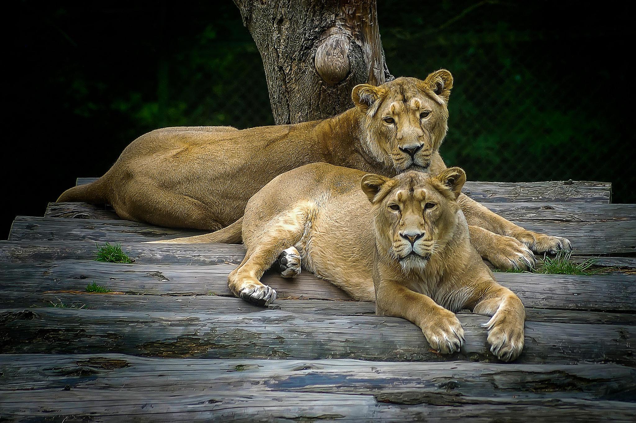 Обои львица, львицы, хищники, животные