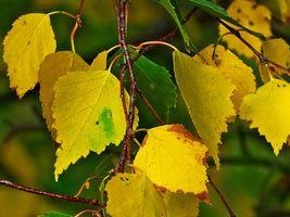 Заставки осень,ветка,берёза,листья,макро