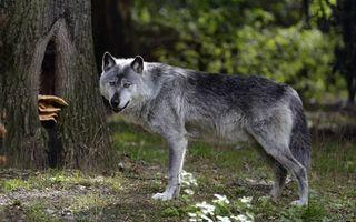 Заставки волк, морда, лапы, хвост, шерсть, лес