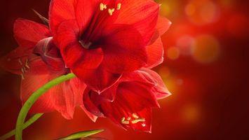 Фото бесплатно лепестки, красные, пестики