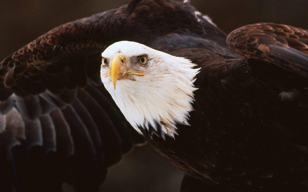 Фото бесплатно орёл белоголовый, глаза, клюв, желтый, крылья, перья, птицы