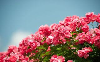 Бесплатные фото кустарник,ветви,листья,зеленые,цветочки,лепестки,розовые