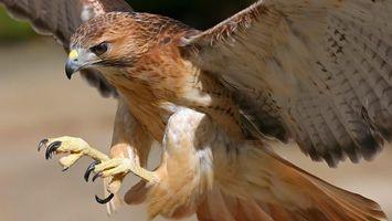 Фото бесплатно сокол, клюв, крылья