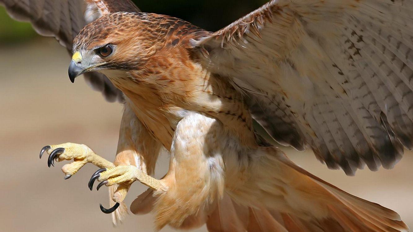 Фото бесплатно сокол, клюв, крылья, перья, лапы, когти, птицы