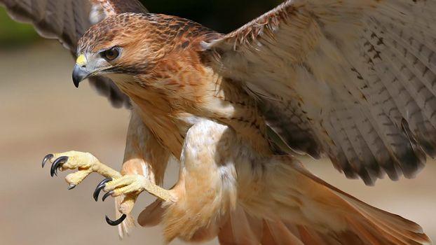 Заставки сокол, клюв, крылья