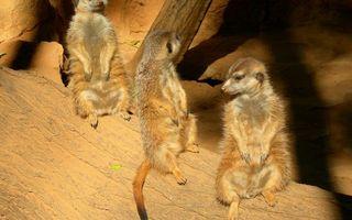 Photo free meerkats, rodents, tree