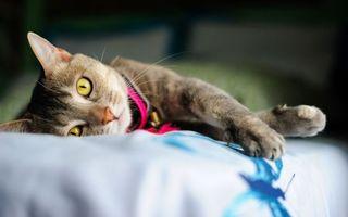 Бесплатные фото кошка,морда,глаза,желтые,лапы,ошейник,кошки