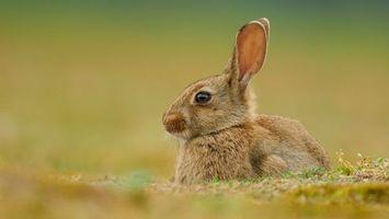 Заставки кролик, уши, глаза, трава, шерсть, усы, животные