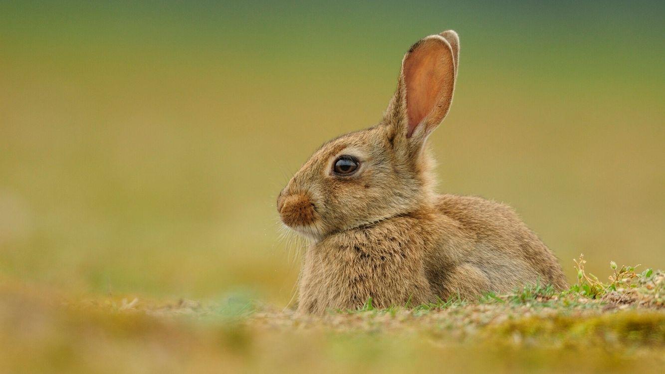 Фото бесплатно кролик, уши, глаза, трава, шерсть, усы, животные, животные
