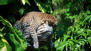 Бесплатные фото леопард, бревно, дерево, отдых, сон, усталость, листья