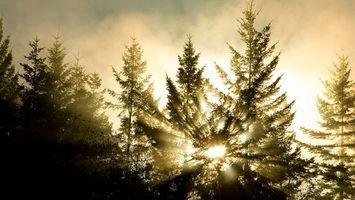 Фото бесплатно лес, ели, деревья