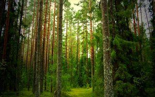 Фото бесплатно лес, хвойный, деревья