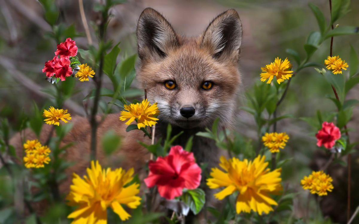Фото бесплатно Лиса, рыжая, цветы - на рабочий стол