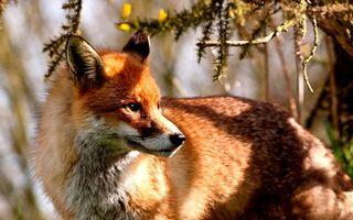 Бесплатные фото лиса,рыжая,хитрая,усы,шерсть,уши,глаза