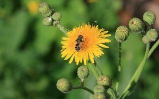 Фото бесплатно мать-и-мачеха, цветок, лепестки