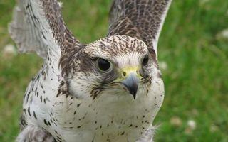 Фото бесплатно орел, перья, оперение