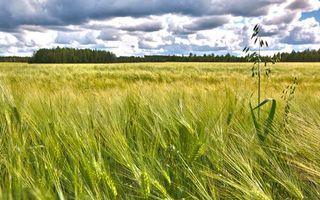 Фото бесплатно пшено, поле, колосья
