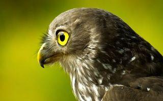 Бесплатные фото сокол,перья,пух,крылья,голова,глаза,клюв