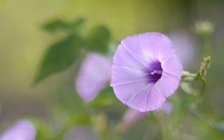 Фото бесплатно цветок, лиловый, бутон