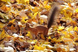 Бесплатные фото белка,рыжая,пушистый хвост,листья,листопад,осень,животные