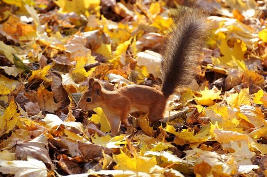 Photo free squirrel, red, fluffy tail
