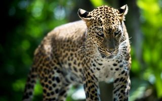 Photo free leopard, pnata, nature