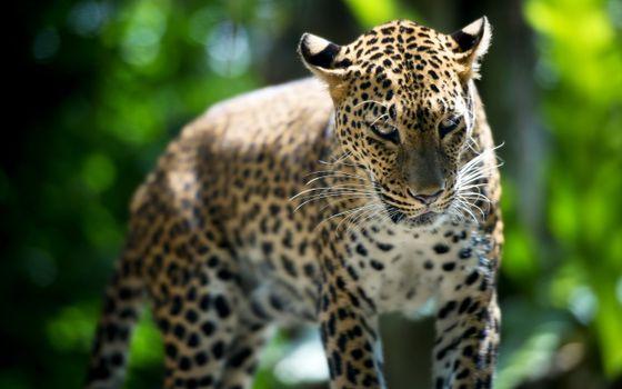 Фото бесплатно леопард, пна, природа