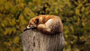 Бесплатные фото лиса,рыжая,пенек,морда,уши,шерсть,животные