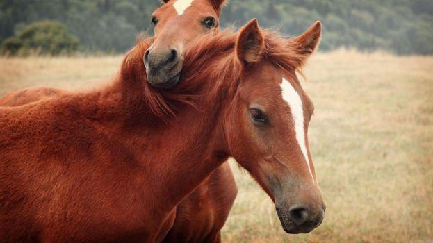 Фото бесплатно лошадь, две лошади, лошади, конь, животные