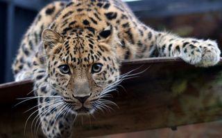 Бесплатные фото пристальный взгляд,хищник,леопард,животные