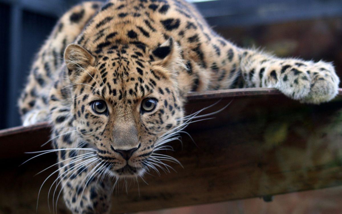 Фото бесплатно пристальный взгляд, хищник, леопард - на рабочий стол