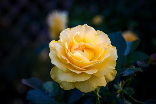 Картинка про роза, цветы